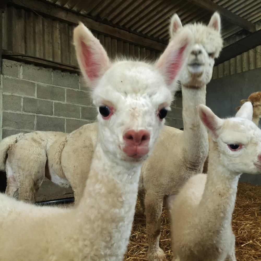 "Alpaca Nativity Experience - Relax with your nearest and dearest in our festive nativity barn and meet our ""junior"" alpacas and newborn lambs!!!Available from 10 am - 3 pm Thurs - Mon throughout December."