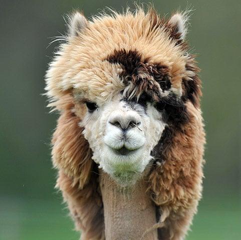 A-freshly-sheared-alpaca--020.jpg