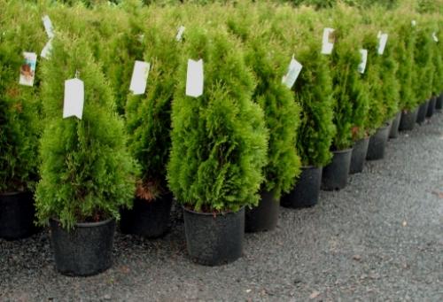 shrub 2.jpg