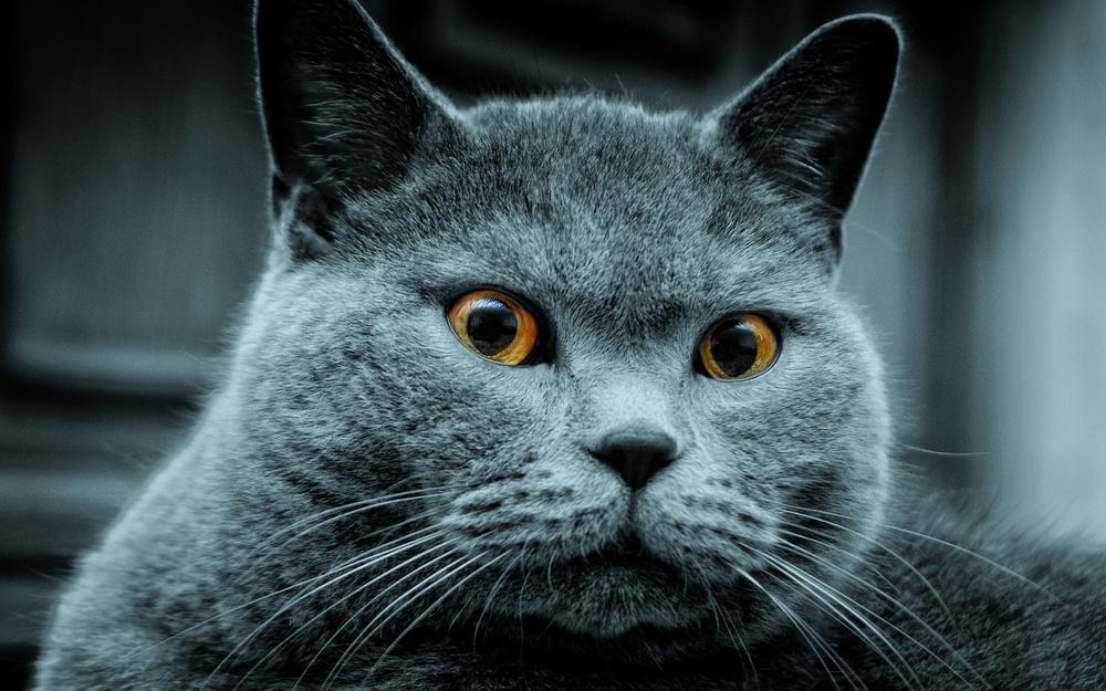 Russian-blue-cat.jpg