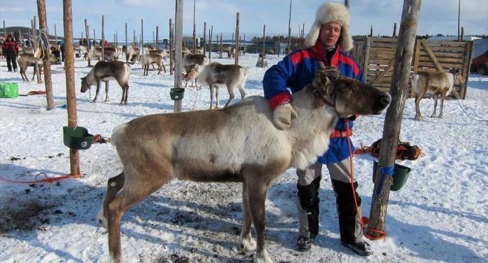 Finnish Reindeer.jpg