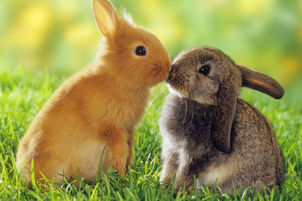 6909793-rabbits-kiss.jpg