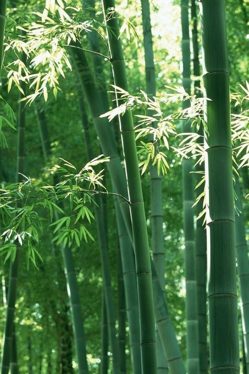 Hoku Acupuncture   Seattle - bamboo tree