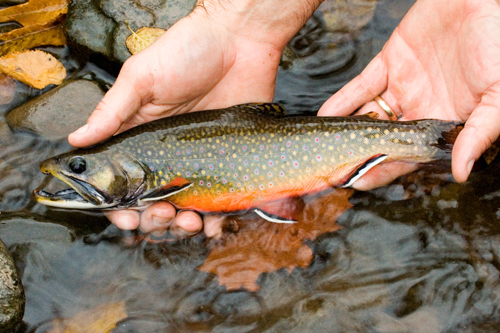 Trout Addiction A Gateway to Rivers & Streams.jpg