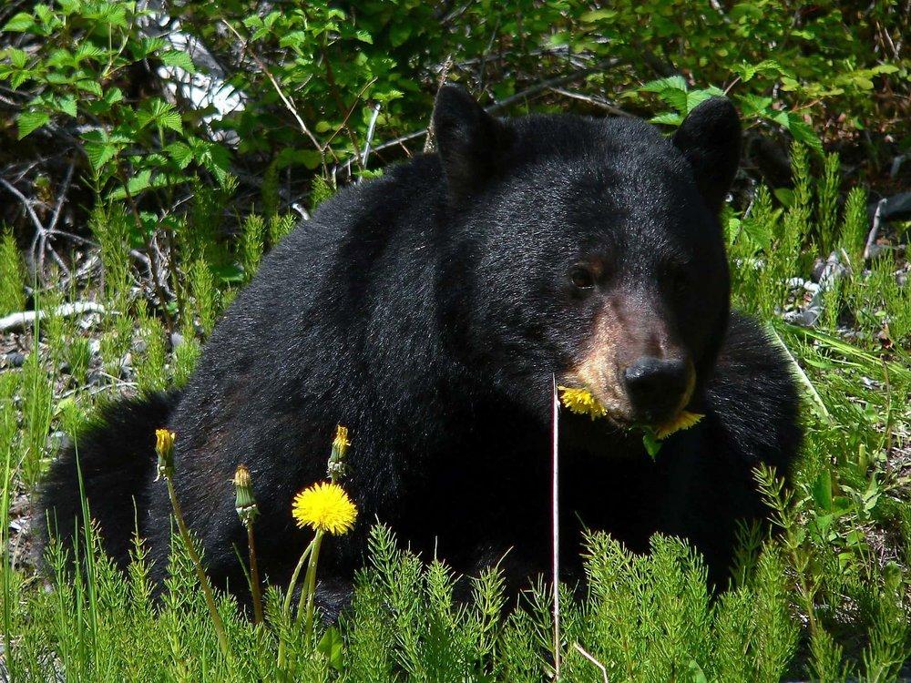 black-bear-80637-1920.jpg
