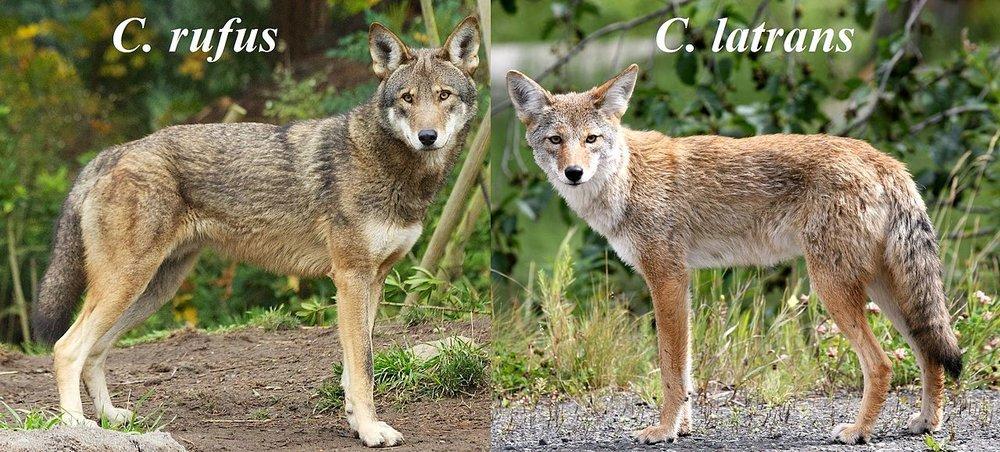 red wolf.jpg