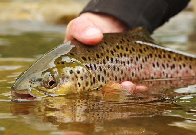 WV Pushes Back Delaying Trout Stocking To Improve Fishing.jpg
