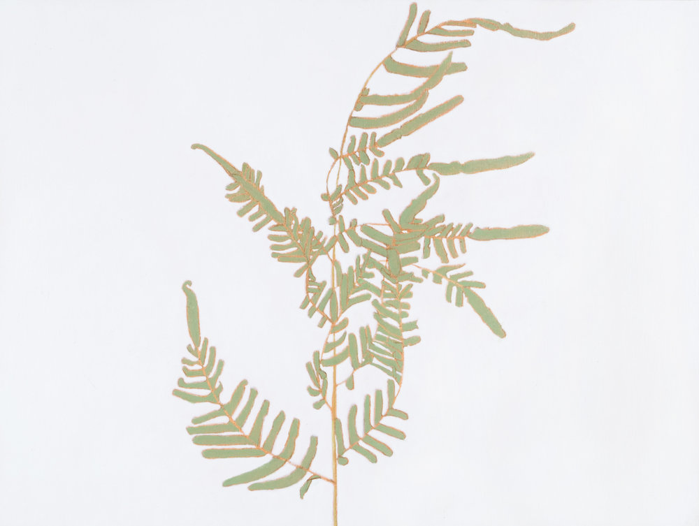 Southern Shield Fern