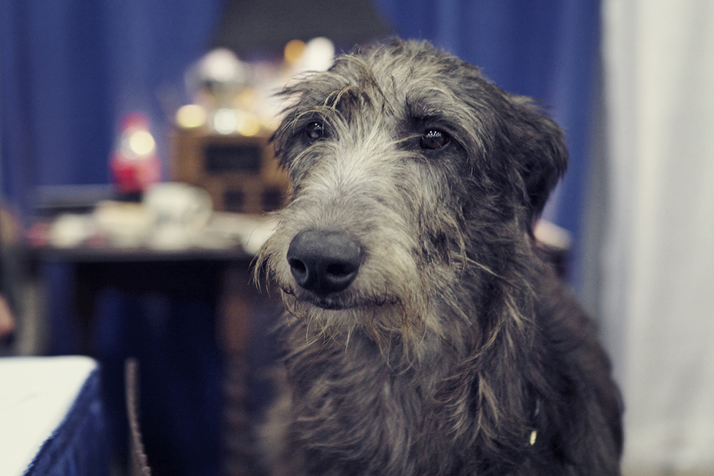 scottish deerhound 2 sushi.jpg