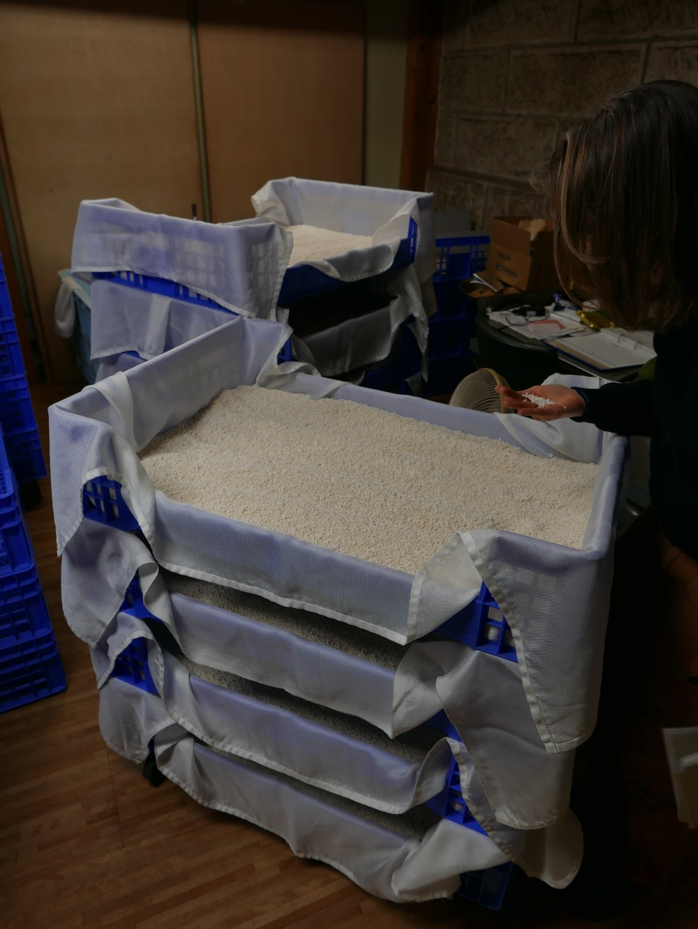 A sake brewer inspects some koji that is drying after it's initial ferment. As a brewer I had to eat some. It was soft and sweet and had a delicate fruity fermentation character almost like an English ale.