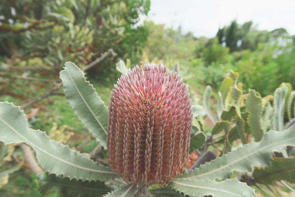 jo-torrijos-states-of-reverie-nature-photography-maui-protea-succulents-alii-lavender-farm-7.jpg