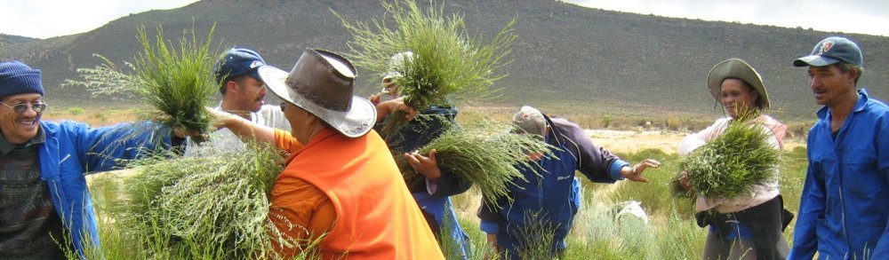 Wupperthal farmers harvesting fresh rooibos during the summer months.