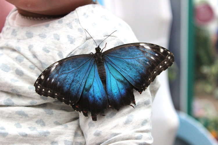 Lucky Lucia made the perfect landing place for this giant blue butterfly!