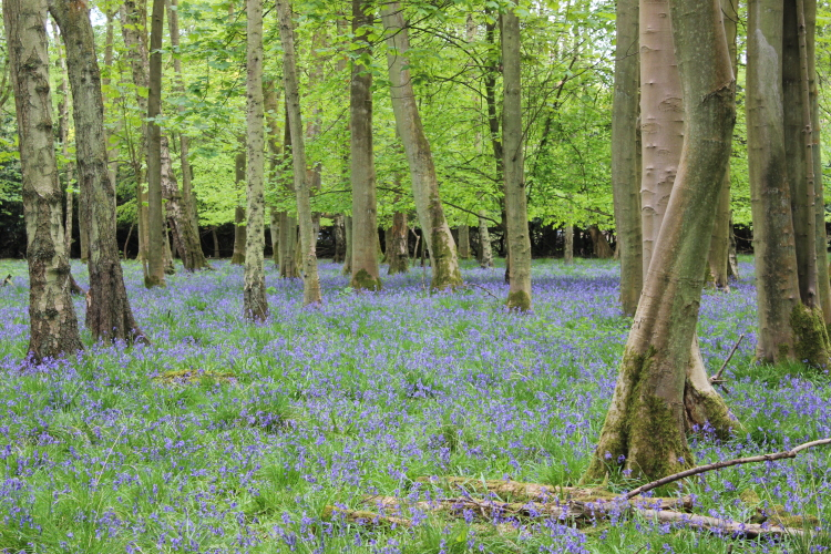 Bluebells cover the woods like a pretty lilac carpet