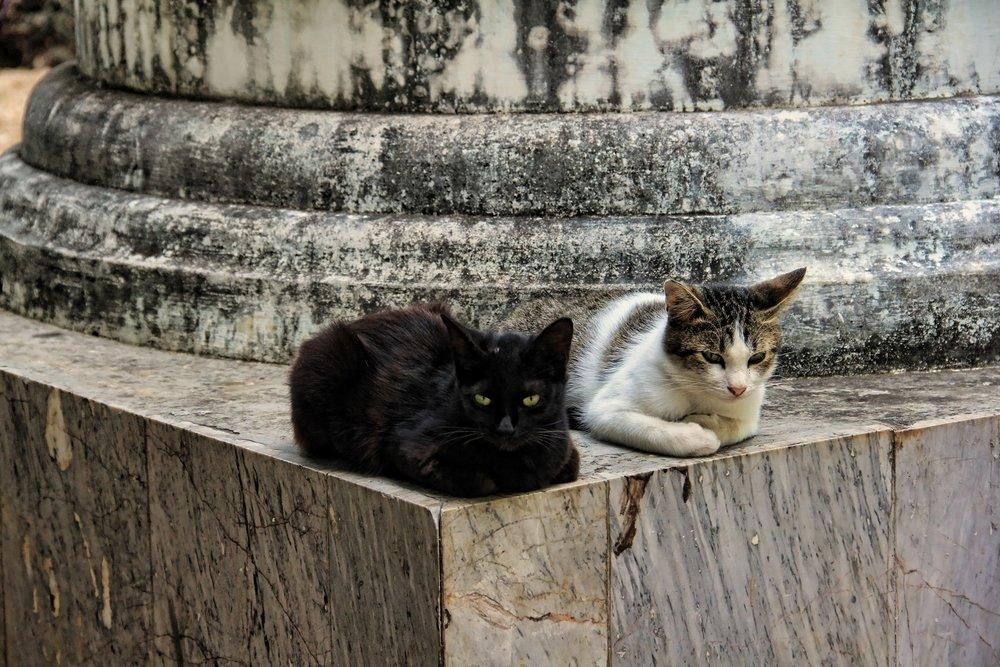 Temple Cats, Doi Suthep temple, Thailand