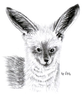 bat_eared_fox.jpg