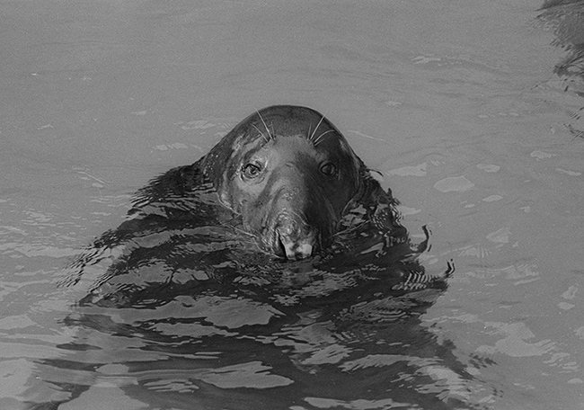 Grey-Seal.jpg