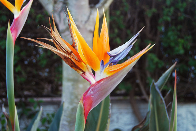 """I really like flowers and I photograph those that strike me or that look more uncommon. This flower's genus is called Strelitzia, but it is commonly called the """"Bird of Paradise"""" flower. The name instantly brings magical images to my mind."""