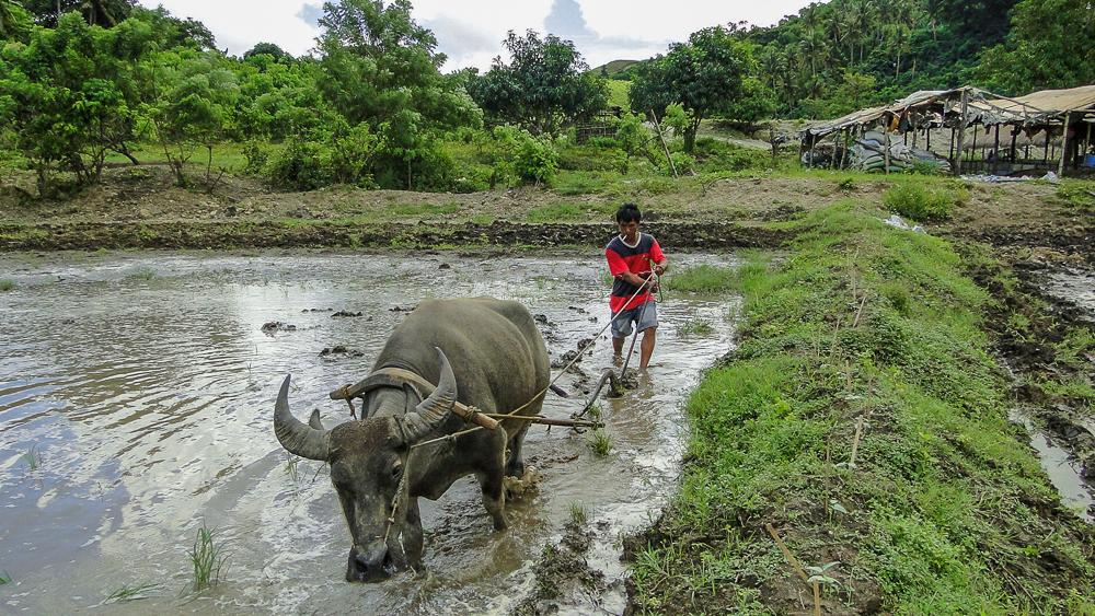 Bani_Philippines_Coconut Creek Farm_Tyler McCloskey.jpg