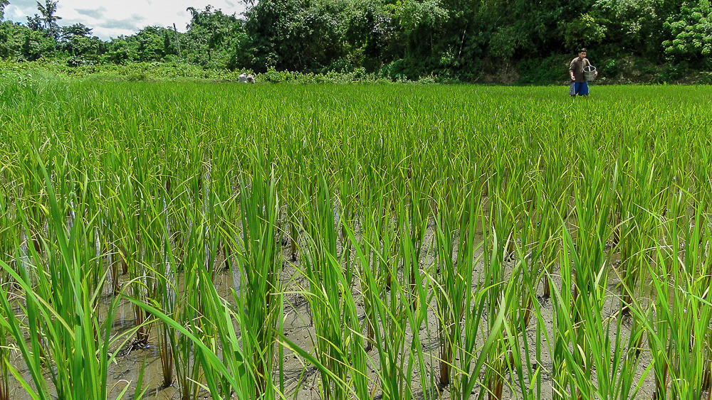 Bani_Philippines_Coconut Creek Farm_Tyler McCloskey13.jpg
