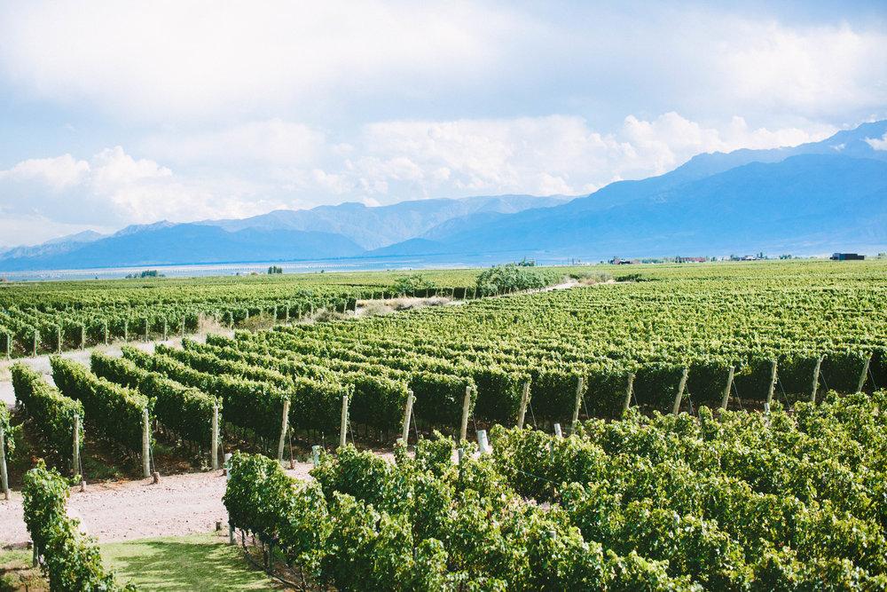 Vineyards at The Vines; Mendoza, Argentina