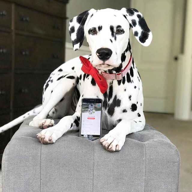 Have you ever seen a more beautiful Dalmatian!? @jackson_the_dalmatian being all cool showing off his Fetch My Pet profile. 🐶 📱