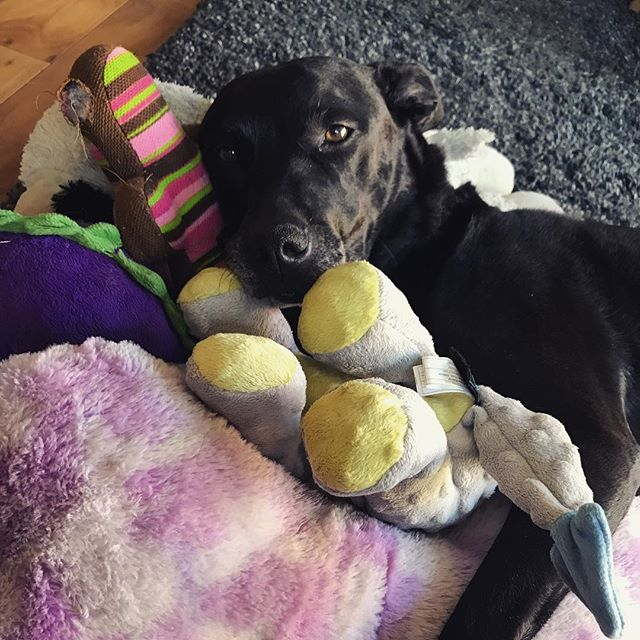 Happiness is afternoon snuggle sessions with your favorite stuffed animals. . . #free #iphone #app #fetchmypet #dog #dogs #dogsofinstagram #blacklab #labrador #pitbull #mutt #rescuedog