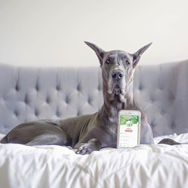 My what big ears you have... The better to hear all about the Fetch My Pet iPhone App! Download it for free today! . . #iphone #free #app #fetchmypet #fetchlabs #dog #dogs #dogsofinstagram #pet #greatdane