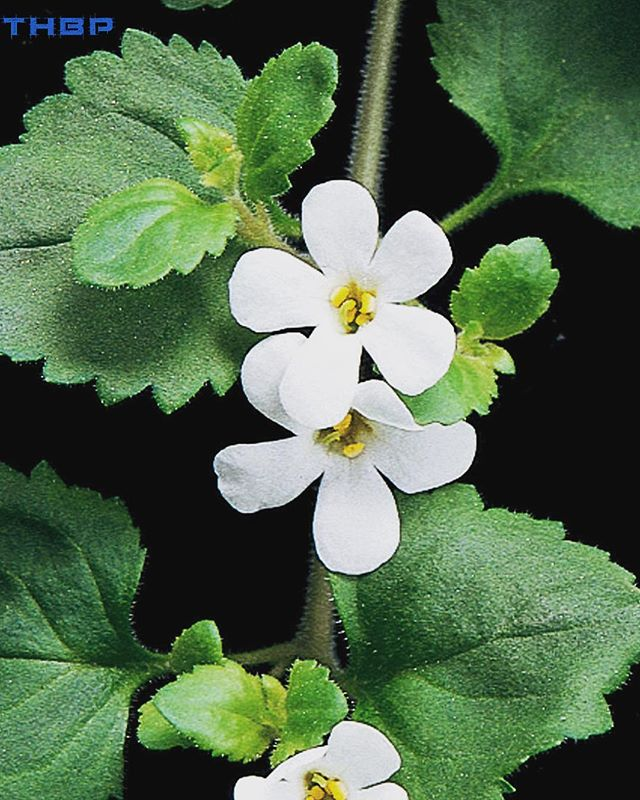 Bacopa Monnieri is a classic adaptogenic plant used in Ayurvedic medicine. This herb is especially beneficial in the areas of neurological rejuvenation aka boosting memory and having anti-anxiety effects on the mind. Traditionally, it was given to boost the brain power in children as well. Some well known brands we like are Himalaya herbs and @oneupworld! @thehumanbluprint