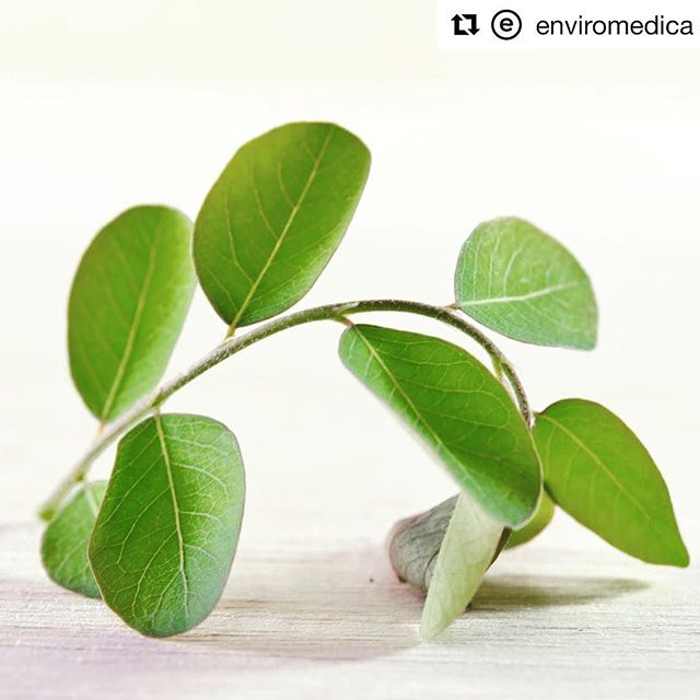 #Repost @enviromedica (@get_repost) ・・・ Malungai/ Moringa / Saijan /  Munga ara / Behenbaum ... whatever you want to call Morings Oleifera is fine by us.  This seemingly ordinary plant is chock-full of benefits.  Moringa promotes healthier blood sugar and cholesterol levels while supporting heart health. It has also been reported to reverse oxidation in the liver.  The leaves have more antioxidants than the seeds or flowers.  You can find these in their natural, powder or capsule form. The leaves can be used to make a delicious simple soup, and the powder can be added to shakes and smoothies, or as a tea. @thehumanbluprint