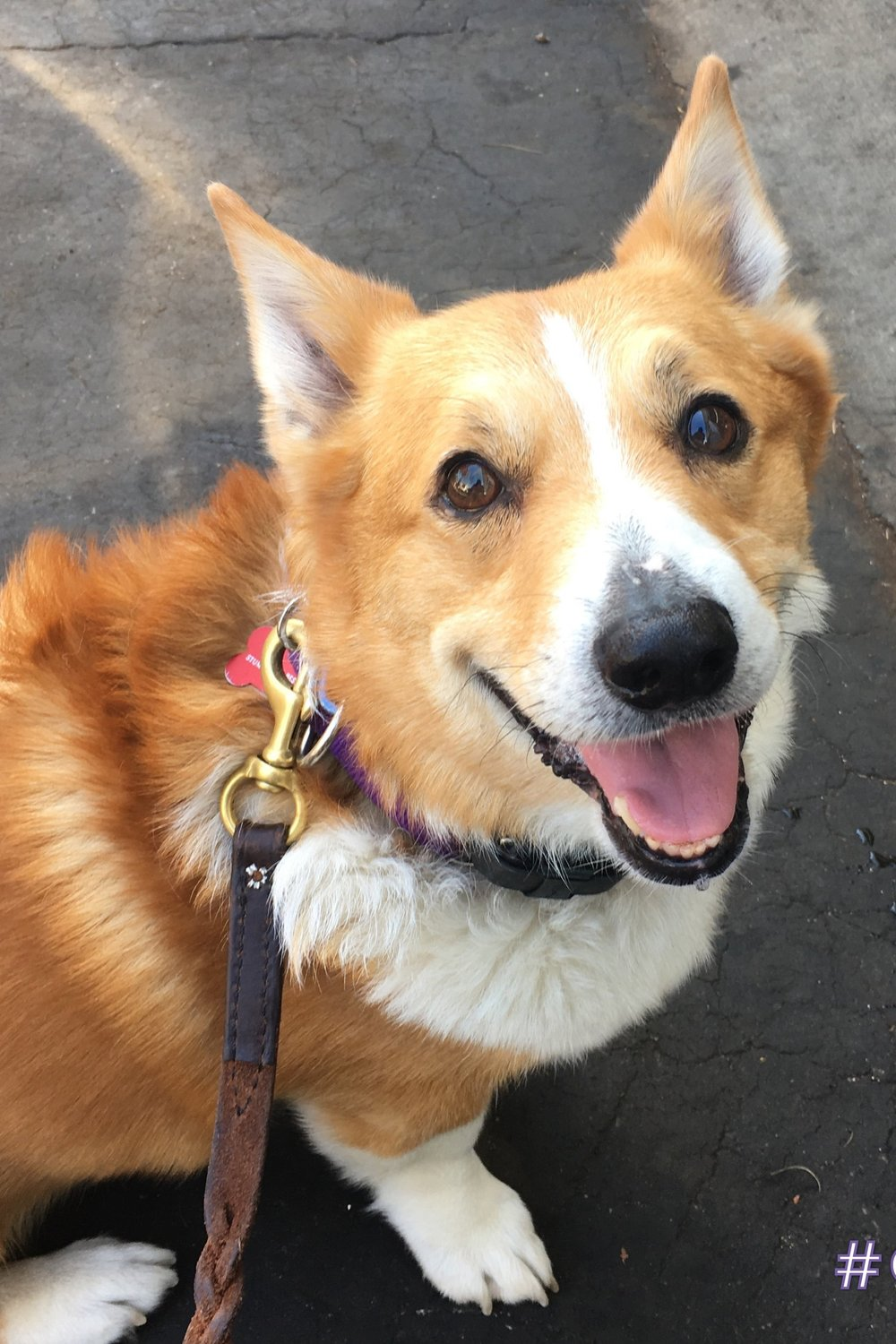 LESTER (Bite History; has bite inhibition) Male, 7.5 years old. Owner surrender due to nipping toddler. Adopted then returned due to biting while. guarding and herding humans. Dog Reactive; Working on Socialization. Has allergies and hip dysplasia. Crate and potty trained. Walks well on leas. Knows basic commands. Needs corgi savvy and experienced owner. Best as only dog with single individual. Not good for first time owner. Not good for households with children. Requires glucosamine supplements for remainder of his life.