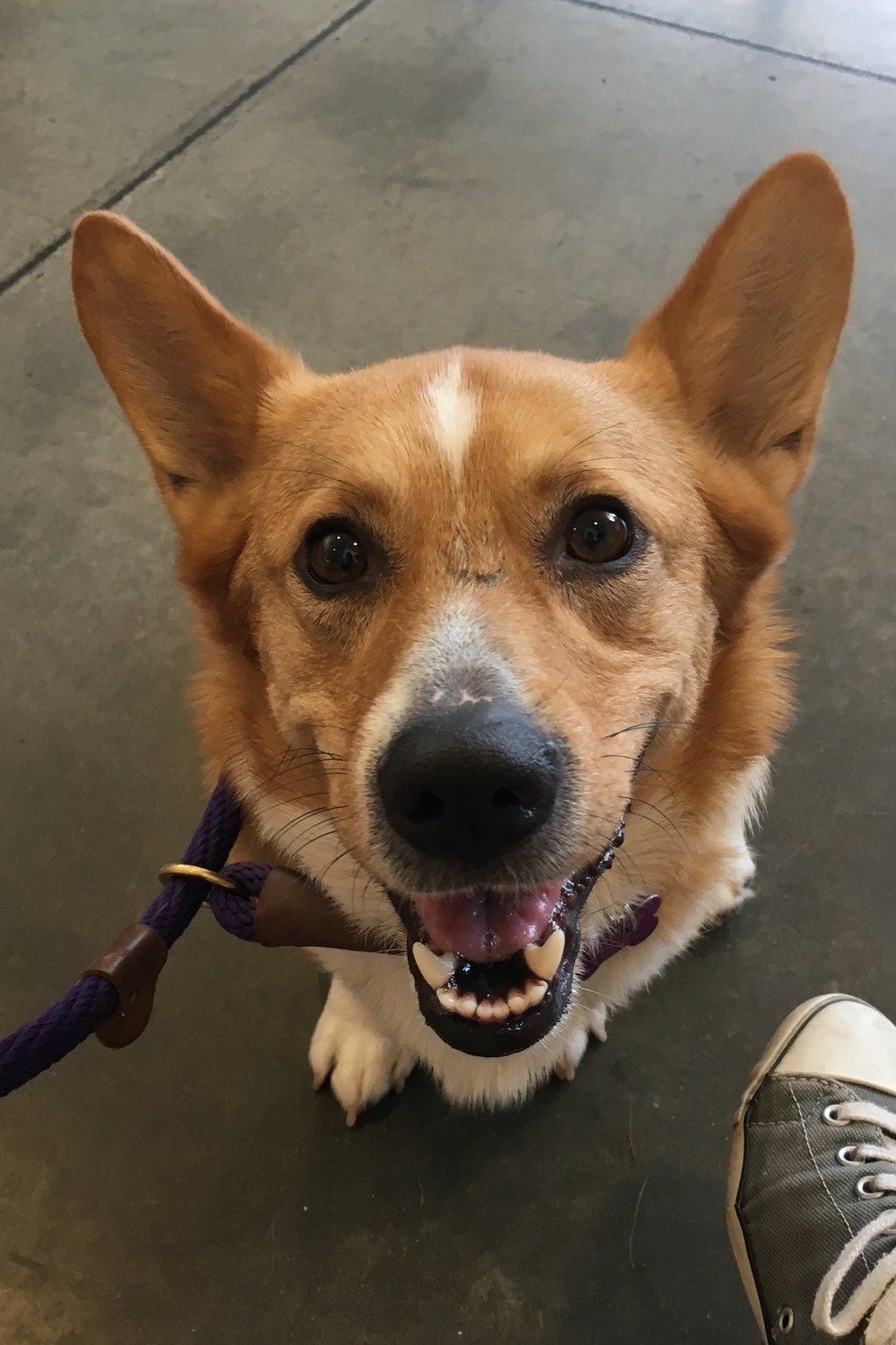 INDY   (Bite History; has bite inhibition)  Male, 2 years old  Saved from death row at shelter. Owner surrender due to biting and food aggression; bit first family while herding children, bit second family while being hand fed. Working on food aggression with people. Working on guarding toys and food Working on basic obedience, leash manners, and courtesy/impulse control. Has destructive behavior. Crate and potty trained. Playful with toys and dogs of the right energy and temperament. Needs corgi saavy and experienced owner. Not good for first time owner(s). Not good for households with children.