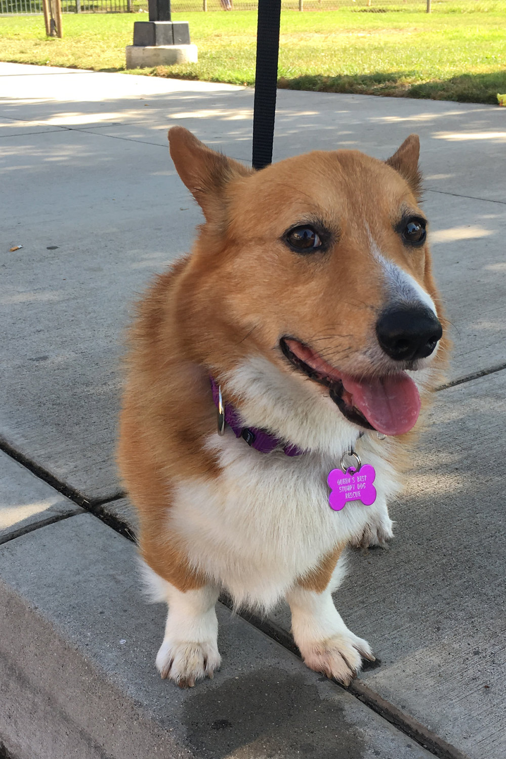 SAM Male, Possibly around 5 years old NEW TO RESCUE 8/11/2017! Found as a stray in Temecula by good samaritans. Very sweet demeanor. Sable coloring. Needs to be potty trained. Recently underwent emergency surgery to correct a large bilateral perineal hernia. While under,he was also neutered to help prevent the hernia from reoccurring. (THANK YOU TO ALL WHO DONATED!!!)