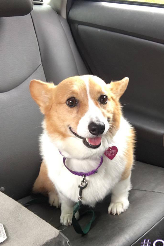 LUCY Female, 8 years old NEW TO RESCUE 8/22/2017! Owner surrender due to fighting with another dog in the household. Triggered by excitement escalations, doorways, and claiming affection. Needs basic obedience to show her guidance and leadership.