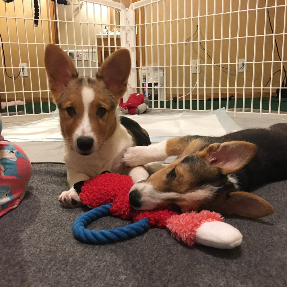BRIE & CAM (Camembert)**     NEW TO RESCUE! (October 2017)    Brie:  Female, ~19 weeks Cam: Male, ~19 weeks  Both pups need: Socializing to other dogs. Desensitizing to human touch. Building senses to compensate for lack of eye sight due to Juvenile Hereditary Cataracts. Working on basic obedience.  Brie: fearful of hands reaching towards her. Will dart away and retreat when overwhelmed.  Cam: Working on mouthiness and nipping.   **These pups will be entirely blind.