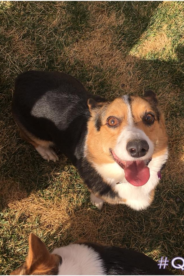 """CHANCE  Male, 3 years old.   NEW TO RESCUE 1/2018!   Adopted from Central California ASPCA 6 months ago. New owners surrendered due to """"behavioral issues"""" which included """"peeing everywhere"""" and """"growling too much.""""  Follow us on Facebook as we learn more about this handsome doggo!"""