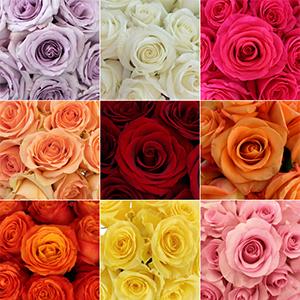 Roses Standard