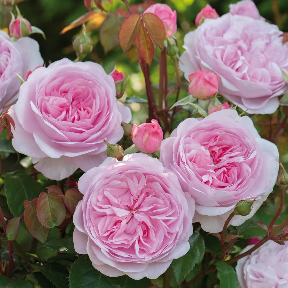 garden-rose.jpg