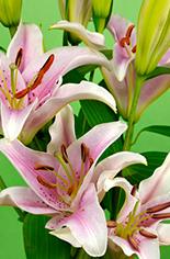 Lilies - Calla Lilies