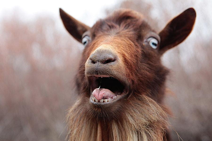 lost goat.jpg