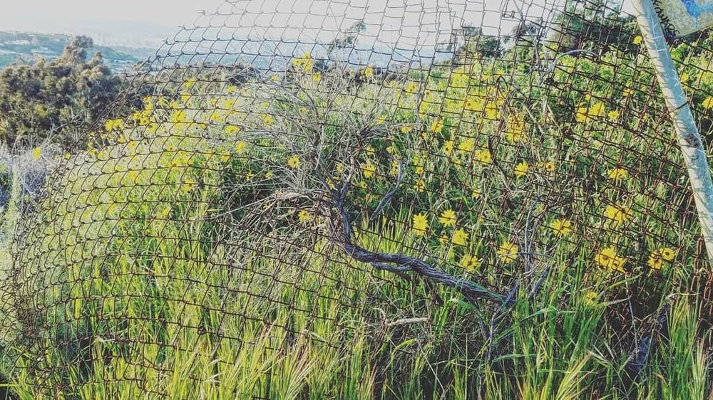 The magic of  a superbloom of wildflowers and green plants right in Los Angeles.