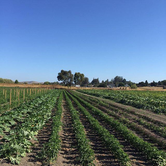 Mixed specialty crops in Petaluma field at Allstar Organics. #marinorganic #marinfarms #localfood #tomatoes #organic #marinfarmersmarket #marinorganic #