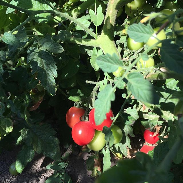 Pretty little New Girl tomatoes growing in Petaluma field at Allstar Organics farm. #organic #tomatoes #localfood #marinfarms #marinfarms#marinorganic