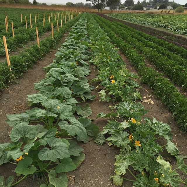 Summer squash and peppers growing in Petaluma at Allstar Organics farm. #basil #petaluma #allstarorganics #localfood #organic #marinfarms #marinfarmersmarket