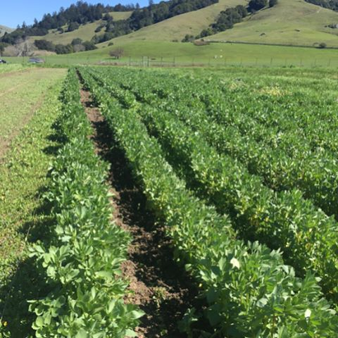 #allstarorganics Nicasio Valley field. We are looking at our largest planting of garlic to date, both hardneck and soft neck. We grow green garlic, uncured hardneck garlic, scapes, cured garlic, and produce dried garlic for our famous organic garlic salt.