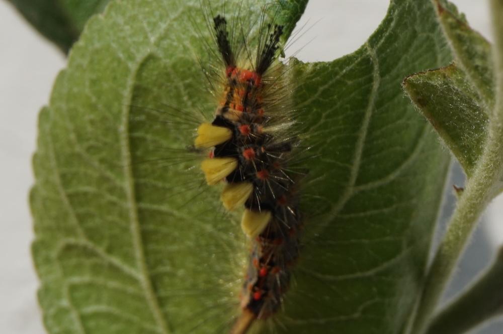 Rusty Tussock or Vapourer Moths