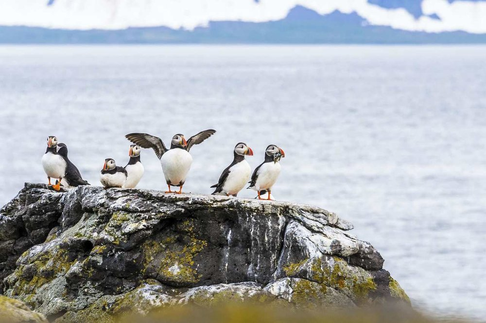 puffins_Easy-Resize.com.jpg