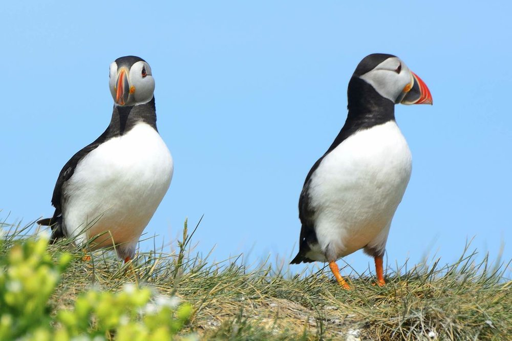 two-puffin_Easy-Resize.com.jpg