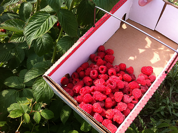 Soergel Orchards Raspberries