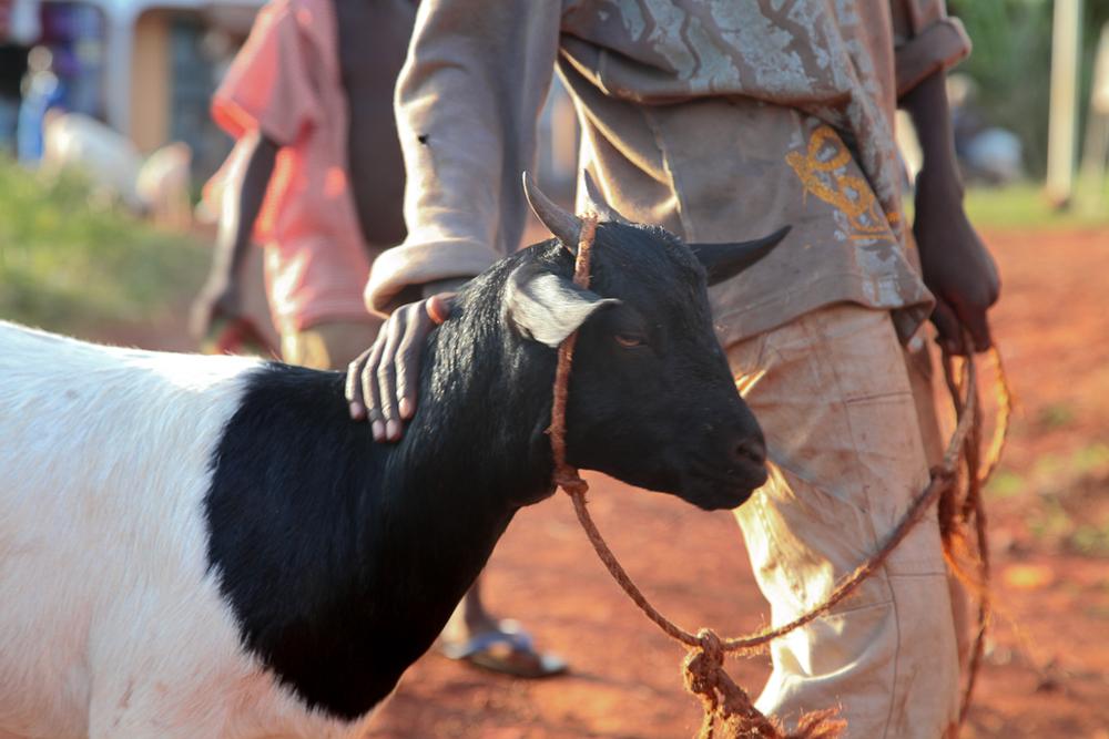 Goat-in-Uganda.jpg